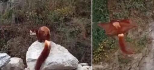 四川乐山发现野生飞狐 放生时出现罕见一幕让人大开眼界引瞩目